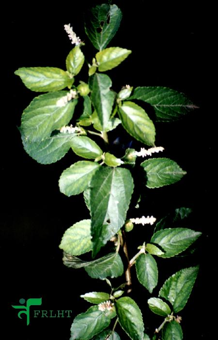 Mitragyna Speciosa Use In The Northern States Of Malaysia East Peoria