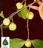 Garcinia cramps picture 2