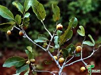 Search medicinal plants by Vernacular or local Name - FRLHT ENVIS